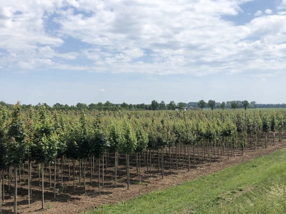 Field of trees - Tree nursery Holland